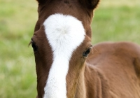 Chestnut Foal