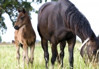 Brown Mare and Foal