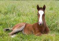 Resting Chestnut Foal