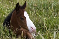 Bay Foal with White Blaze