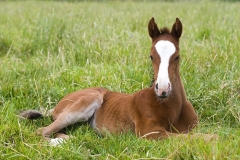 Resting Chestnut Foal